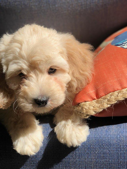 Labradoodle Puppies For Sale Florida