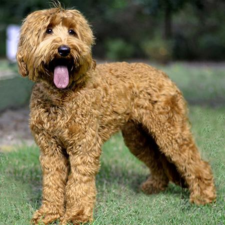 Labradoodle Puppies For Sale Near Atlanta