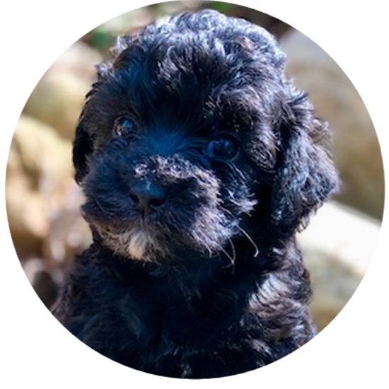 labradoodle Puppy Traing Program